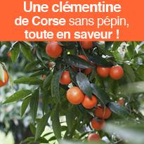 La Clémentine<br>de Corse<br>unique<br>clémentine<br>produite<br>en France